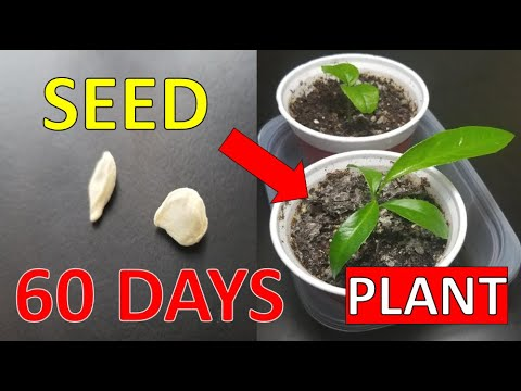 Growing Orange Tree From Seed - 60 Days Time Lapse