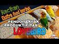Ternak Lovebird Ekstra Food Kering Pengganti Jagung Kangkung Pakanlovebird Ternaklovebird  Mp3 - Mp4 Download