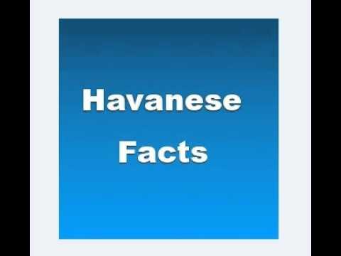 Havanese Facts Video Funnydog Tv