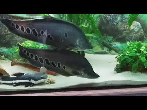 Аквариум 500л.кормление хищников(индийский нож)#33