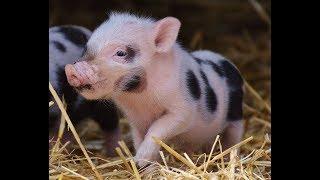 Schweinchen im Glück .. aber nur bis zur Grenze .. Stephan Protschka AfD 28.06.19 - Bananenrepublik
