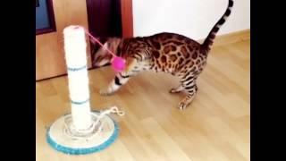Бенгальские котята,вязка с котом