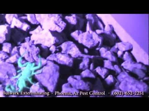 Black Light Hunting Scorpions- Phoenix, Arizona- Pest Control by Bulwark Exterminating (1 of 2)