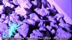 Black Light Hunting Scorpions- Phoenix, Arizona- Pest Control by Bulwark Exterminating (1 of 2)