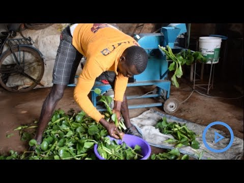 Water hyacinth biofuel opens opportunities for alternative energy source