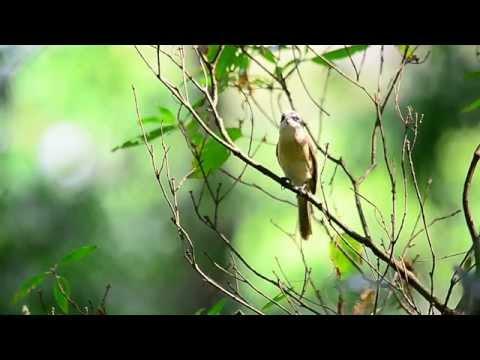 Brown Shrike's call -Singapore