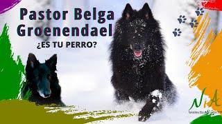 Perro de Pastor Belga Groenenadael. Características y necesidades. ¿quieres un groenendael?