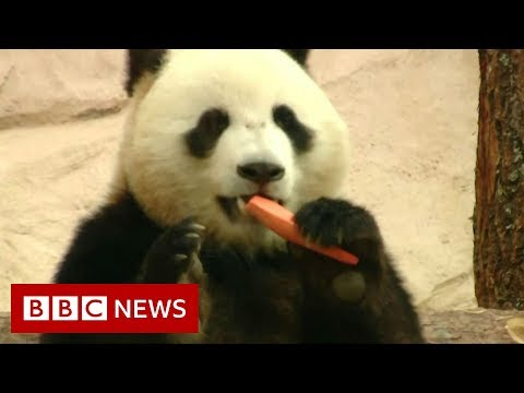 China takes 'panda diplomacy' to Russia - BBC News