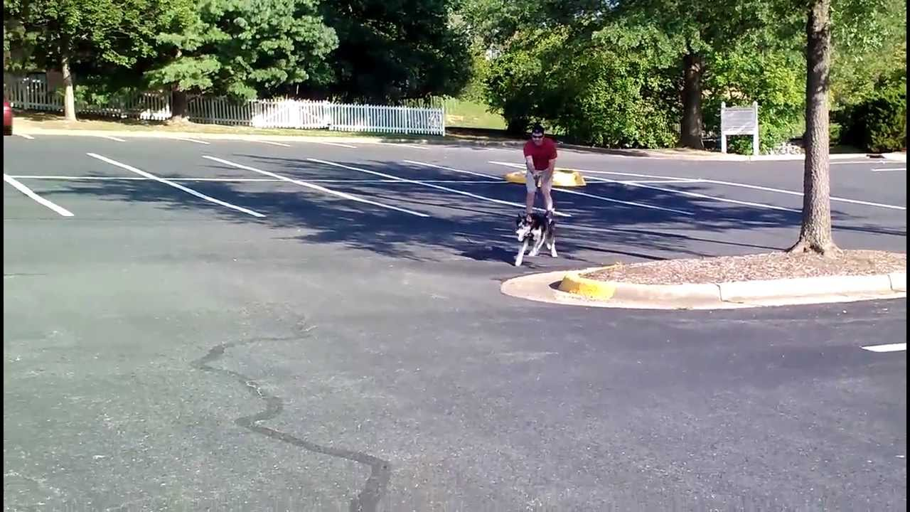 Image result for husky Rollerjoring