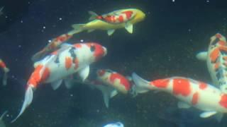 2017新竹市錦鯉協會魚友觀摩參訪活動 2 魚友蔡錦三先生愛鯉