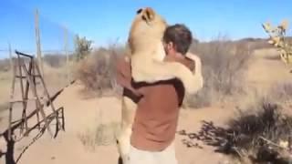 Тигр любит своего хозяина