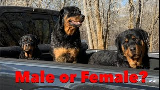 Male or Female Rottweiler, Which one should you get? How to Pick out the right family puppy?