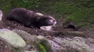 Ozzy man reviews: Otter learning how to swim (unseen)