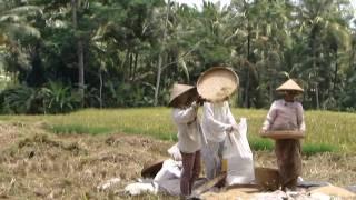 Rice Farming, Bali Ubud.