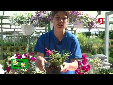 El jardinero en casa fucsias doovi for Jardinero en casa