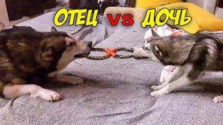 БИТВА СОБАК | схватка маламутов | крутая игрушка для собаки