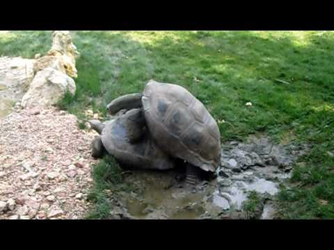 Accoppiamento tartarughe giganti in italia youtube for Accoppiamento tartarughe