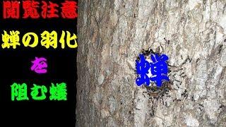 蝉の羽化に群がる蟻を発見しました。大人になるのは大変だなぁ。