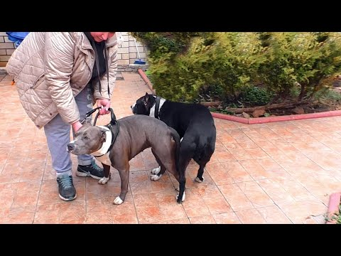 .   American Staffordshire Terriers. New litter