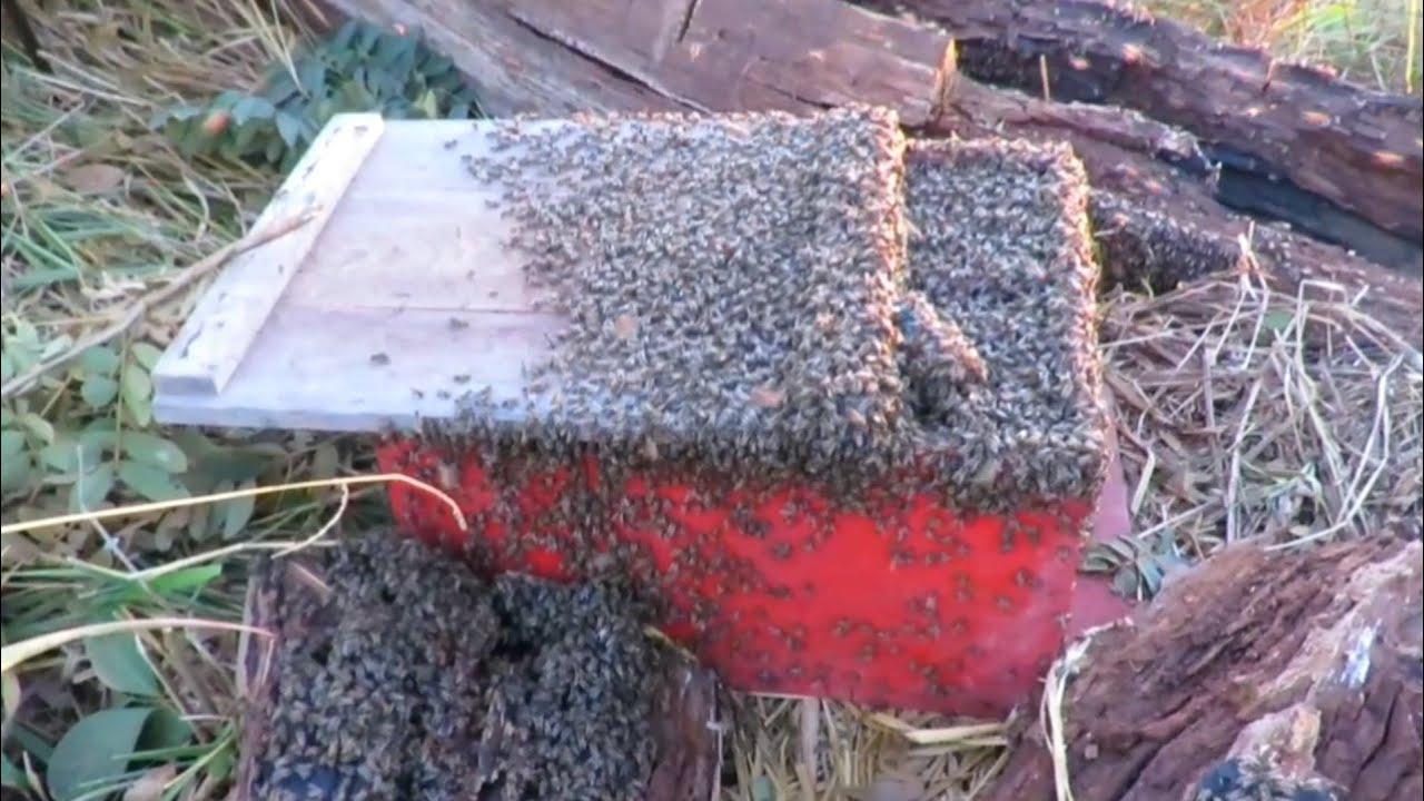 Resgate de abelhas APIS na Beira da Estrada