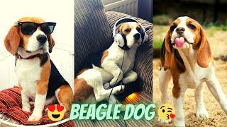 Beagle Unique dog   Funny Beagle Puppy compilation   #Beagle #trend   Universe unique animals