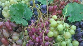 видео Подкормка винограда удобрениями: когда и что вносить