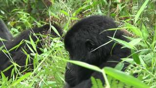 Silverback and Gorillas with young in the jungle (Uganda, Kisoro, 2009)