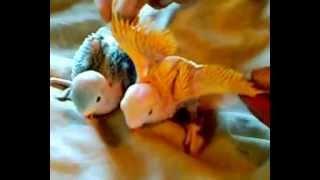 Птенцы Ожереловых попугаев (разведение попугаев)