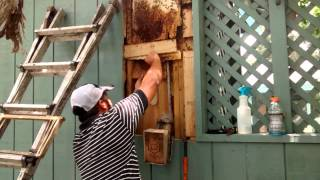 Honey Bee hive removal from a Pool House,TX- by Luis Slayton of Bee Strong Honey and Beehive Removal