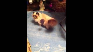 Персидский (Гималайский) котенок