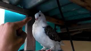 New Baby pigeon Training  |  Shartin Pet Pigeon