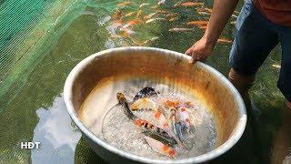 Mua Koi việt Rẻ Ở Trại (3.6.2019) 😍 Buy cheap Koi fish at the fish farm
