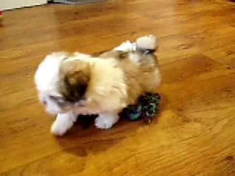 Malshi Maltese X Shih Tzu Occy 6 Weeks Cute Youtube