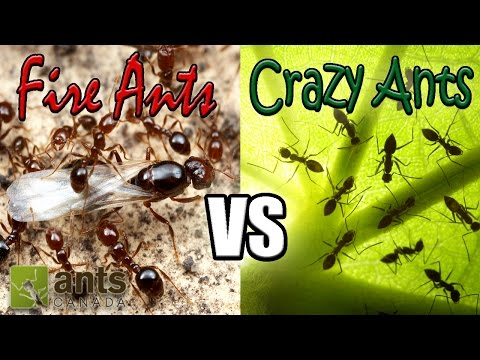 Flying Fire Ants vs Cloning Crazy Ants | Amazing Ant Reprodu