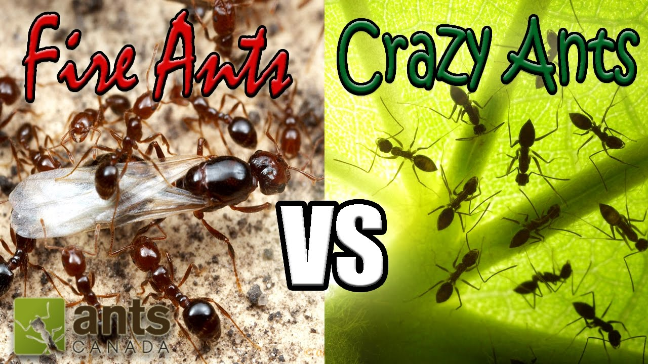 Flying Fire Ants Vs Cloning Crazy Ants Amazing Ant Reproduction