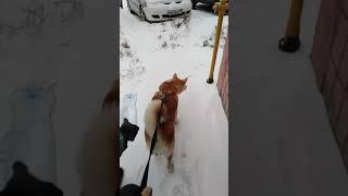 Как правильно собрать мочу у собаки для анализов!