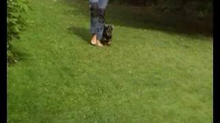 Lancashire Heeler Dolly Training