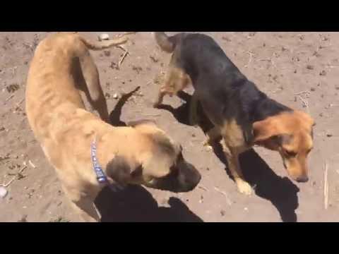 8 month mastiff Duk is Wild