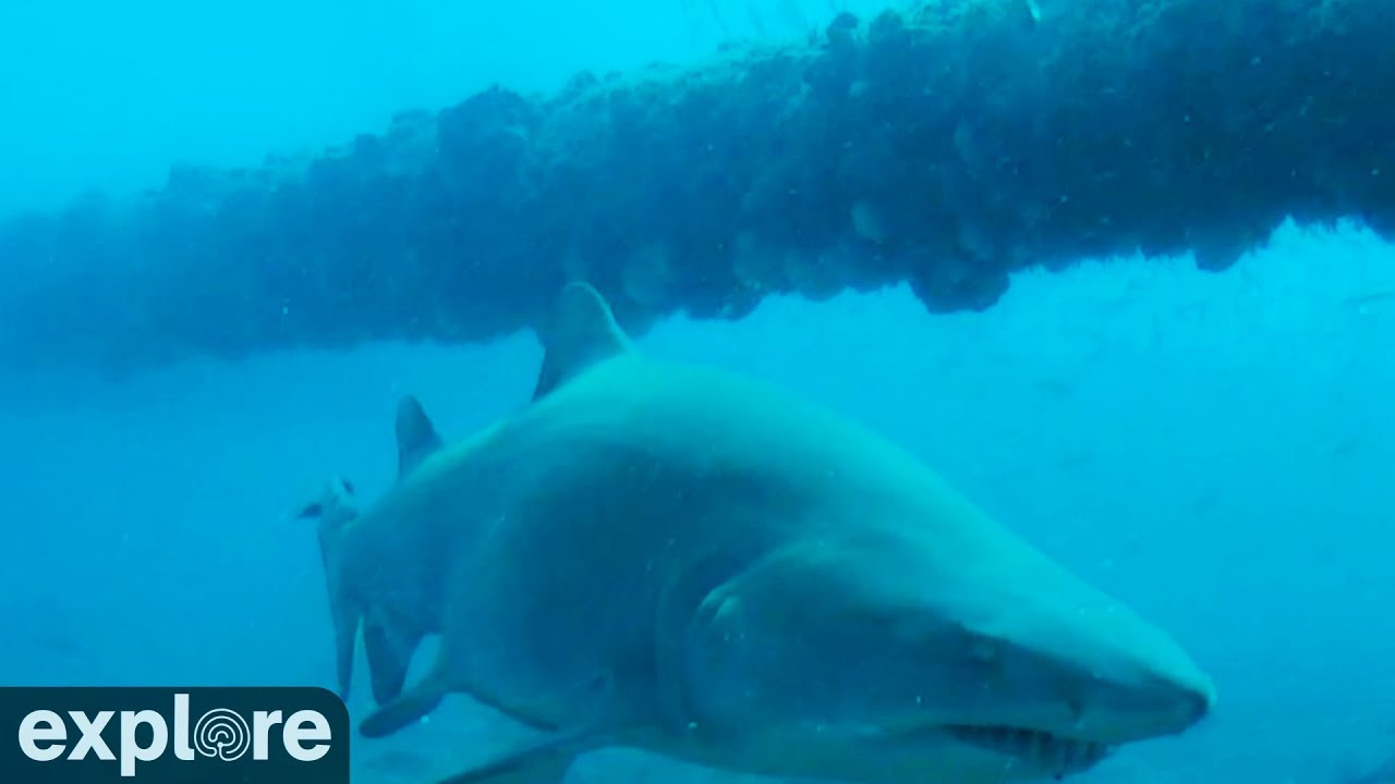 Shark Cruises By Frying Pan Cam Youtube