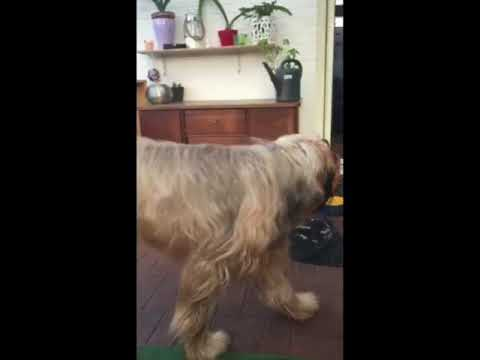 Dog vs. cat / Briard vs. Maine-Coon