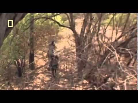 Black Rhino vs Lion Pride Full Moves 2015