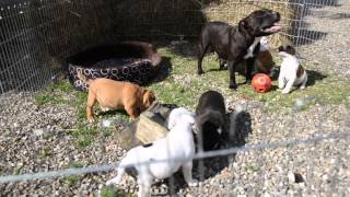 Video Staffordshire Bull Terrier Puppies