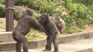 アニー&キヨマサ56 Annie&Kiyomasa child gorilla play