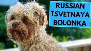 Russian Tsvetnaya Bolonka  TOP 10 Interesting Facts