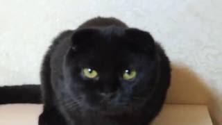 Шотландская чёрная кошечка, фолд, 4 мес.