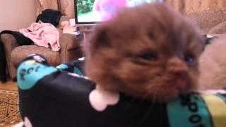 Маленькие британские котята в лежаночке. Возраст котят - 2 недели