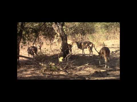 सिंह - गिर गुजराथ -Gir Forest National Park  Forest - Sasan-Gir Gujarat