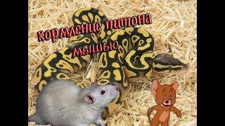 кормление королевского питона живой мышью