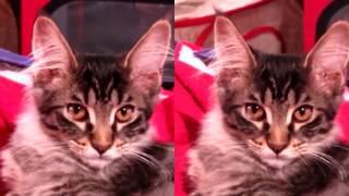 """3D SBS VR - Выставка кошек """"Гран-При Сибири 2016"""" (WCF) YT3D dv parallel fullscreen"""