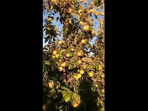 Яблоня Бребурн саженцы яблони фото, описание сорта